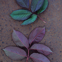 Leaves of fresh spring Rose or Rosa with green and violet markings lying face up and face down on rusty metal sheet