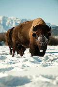 PRICE CHAMBERS / NEWS&amp;GUIDE<br /> A bison looks up from grazing through snow in Grand Teton National Park.