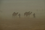 Bedouin men and camels in a sandstorm near Jinayderiah camel market, Saudi Arabia