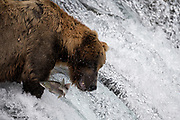 "A brown bear know as ""775"" or ""Lefty"" just misses a sockeye salmon as it leaps the falls on the Brooks River in Katmai National Park, Alaska."