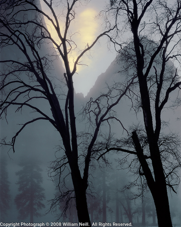 Black oaks and Cathedral Rocks, Yosemite Valley, Yosemite National Park, California