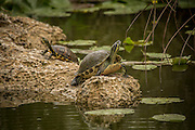 Florida redbelly turtle (Pseudemys nelsoni) in Everglades National Park, Florida.