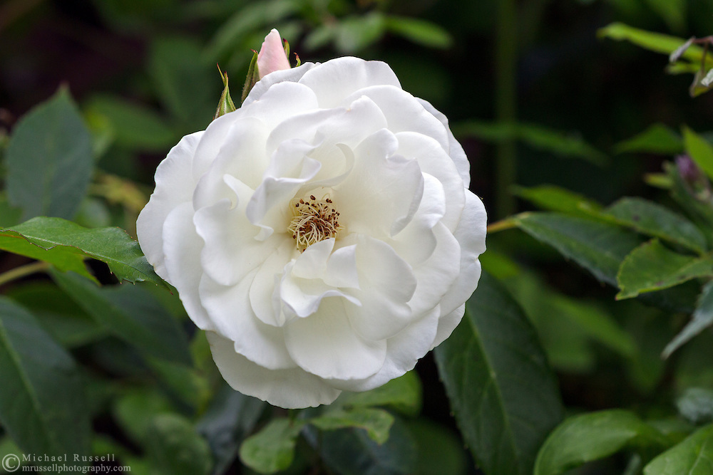 A climbing rose 'White Dawn' flower