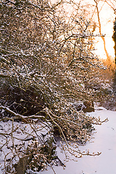 First light of dawn on a snowy winter's morning at Glebe Cottage. Magnolia stellata in foreground