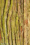 Bark of Red Cedar
