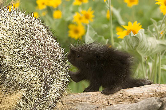 Porcupine, (Erethizon dorsatum) Young porcupette with mother on log. Balsam Arrowroot flowers behind. Spring. Montana. Captive Animal.