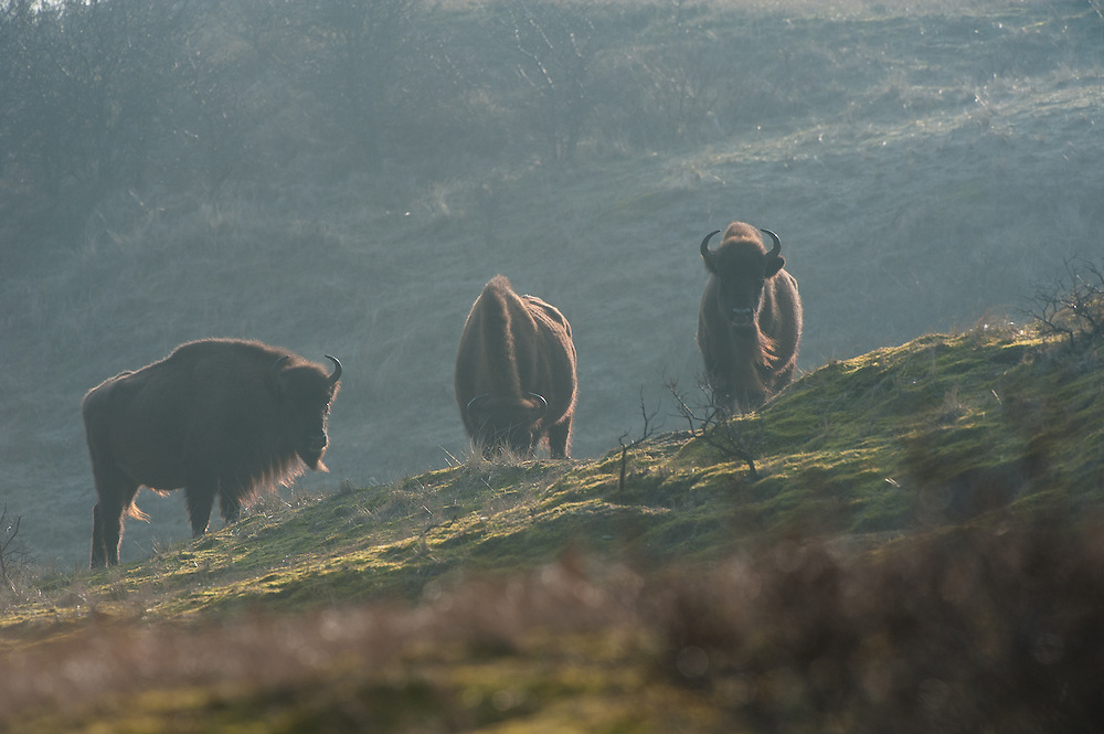 Three European Bison (Bison bonasus) standing and grazing in dune landscape