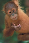 Orang Utan Baby<br />Pongo pygmaeus<br />Occur: SUMATRA & BORNEO