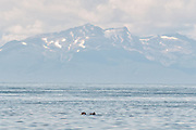 A sleeping sea otter floats down the Cook Inlet past the Chigmit Mountains at Anchor Point, Alaska.
