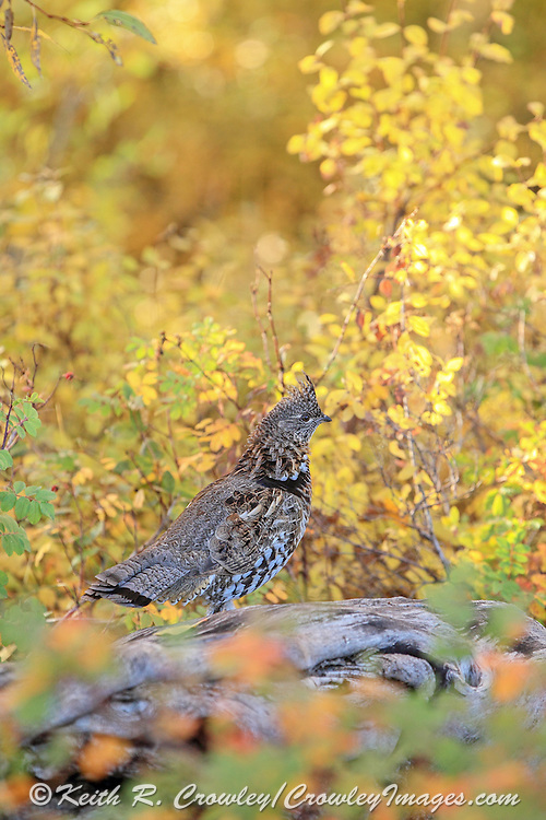A Ruffed Grouse walks on a downed log in brilliant fall colors