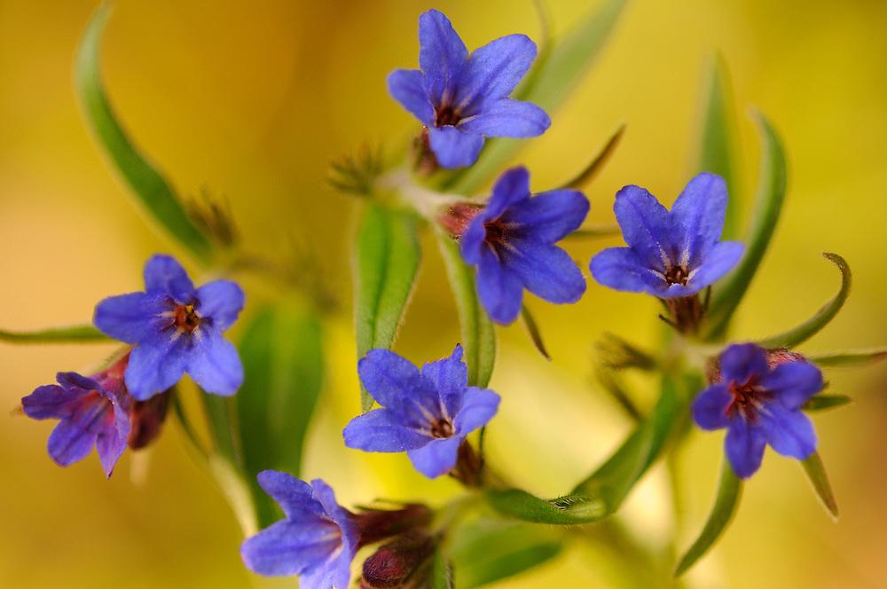 France, Languedoc Roussillon, Gard (30), Cevennes, fleurs de Grémil rouge et bleu, N.L.: Lithospermum purpureo-coeruleum, (Borraginacées)