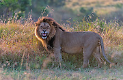 Lion (Panthera leo) from Maasai Mara, Kenya.