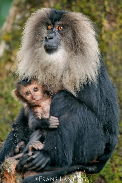 Lion-tailed macaque mother with infant, Macaca silenus, Western Ghats, India