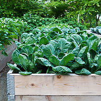 Brussel sprouts, red cabbages, beets, and potatoes growing in planters in a rasied bed vegetable garden.