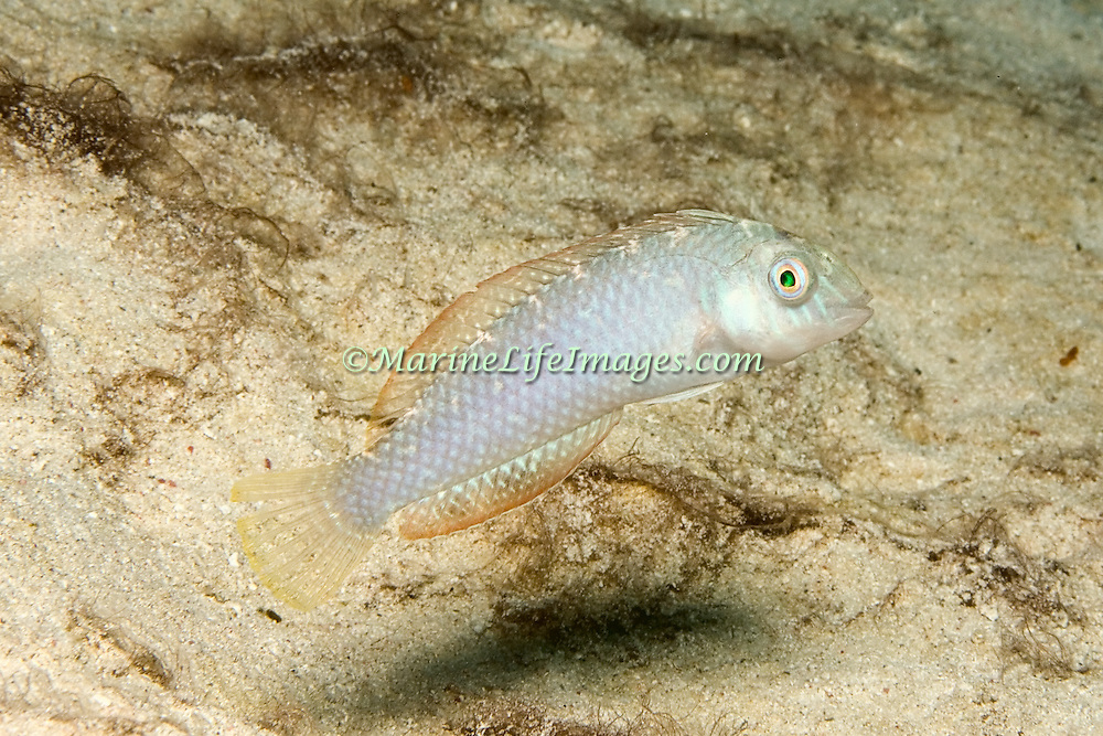 Green Razorfish inhabit shallow areas of sand and rubble in Tropical West Atlantic; picture taken Utila, Honduras.