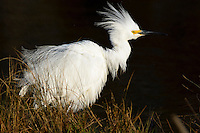 Snowy egret, Egretta thula,Chincoteague National Wildlife Refuge, Virginia, USA