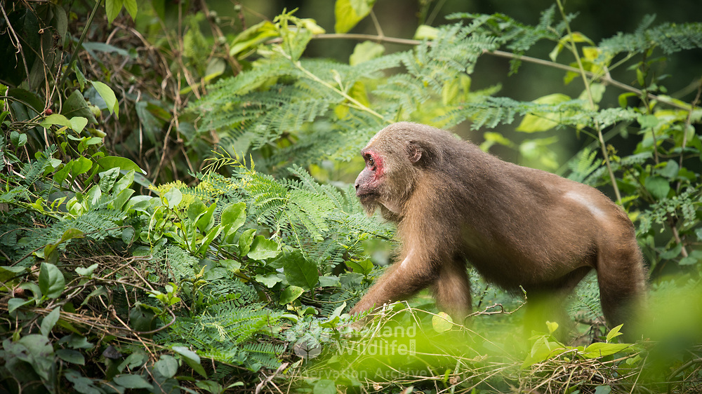 Stump-tailed Macaque (Macaca arctoides) in Kaeng Krachan national park, Thailand