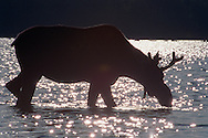 Vereinigte Staaten von Amerika, USA, 2001: Junger Elchbulle (Alces alces americana) beim Fressen von Wasserpflanzen im in der Nähe von Kokajo gelegenen First Roach Pond bei Sonnenuntergang. | United States of America, USA, 2001: Young moose bull  Alces alces americana, feeding on water plants, standing in the water of First Roach Pond near Kokajo at sunset, Maine. |