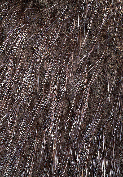 CLOSE-UP OF FUR DEAD EUROPEAN BEAVER......NIALL BENVIE PORTFOLIO EUROPEAN BEAVER FUR PELT CASTOR FIBER EUROPE LATVIA RIGA RODENT WATER MAMMAL VERTICAL WARMTH WATERPROOF PROTECTION BROWN WILD HUNTING COAT 2001 MAY TRAPPING.. ... .. ..