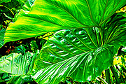 Elephant Ears Calidora (also known as the Persian Palm) is a spectacular giant alocasia.