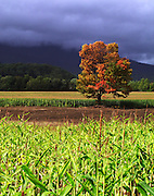 lone mature fall maple tree overlooking cornfield with a stormy sky, while the sun shines,manchester,vermont no property release