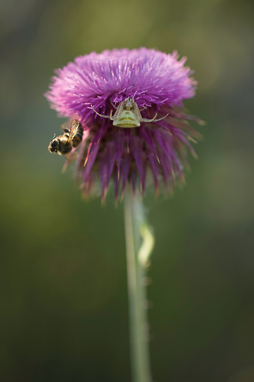 A crab spider (probably Thomisus onustus) of the Tomisidae family, and a bee previously preyed, on a musk thistle (Carduus nutans - =Carduus macrocephalus), near Skrka lake. Hutovo Blato Nature Park. Bosnia-Herzegovina. May 2009<br /> Elio della Ferrera / Wild Wonders of Europe