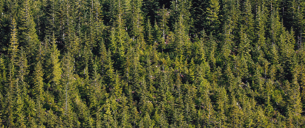 A coniferous forest on a mountainside, the trees mostly Noble Fir and Silver Fir - panorama