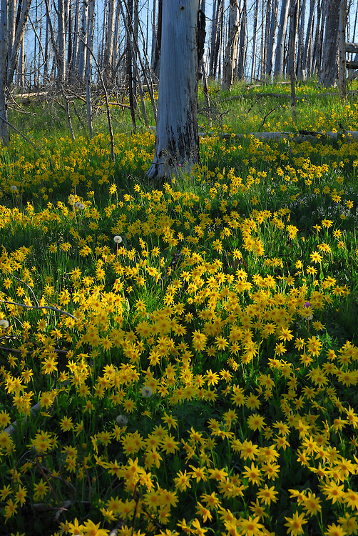 Areas of recent burn in Yellowstone Park provide for exceptional wildflower displays. The 2003 fires near Yellowstone Lake created a perfect environment for this field of Heartleaf Arnica.