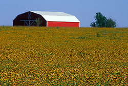 Stock photo of a large red barn on scenic land covered with native yellow wildflowers
