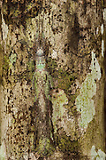 Lichen-mimic phasmid (Phasmida)<br />