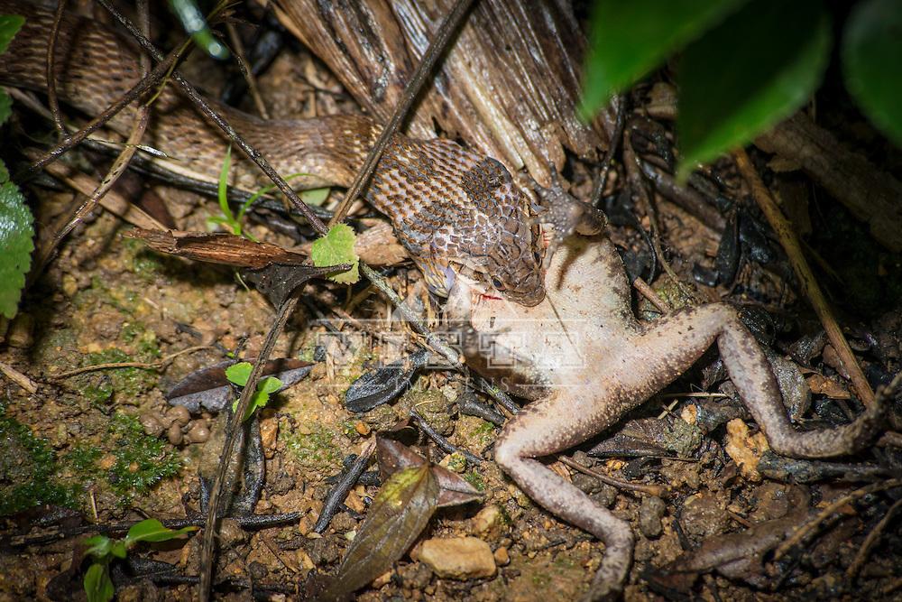 """Falsa jararaca (Xenodon merremii), também chamada de boipeva ou boipeba, que significa cobra chata, pois adota posição de achatamento de todo o corpo como display. Ela faz """"mimicry"""" com as serpentes peçonhentas da familia Viperidae (víboras) como defesa natural. Alem disso é uma sp. polimórfica, com muitos padrões de coloração. É uma aglifodonte, inofensiva, comedora de Anura, sendo imune à peçonha dos sapos verdadeiros da família Bufonidae. No caso é uma rã (Leptodactylidae), Florianópolis, Santa Catarina - foto de Ze Paiva - Vista Imagens"""
