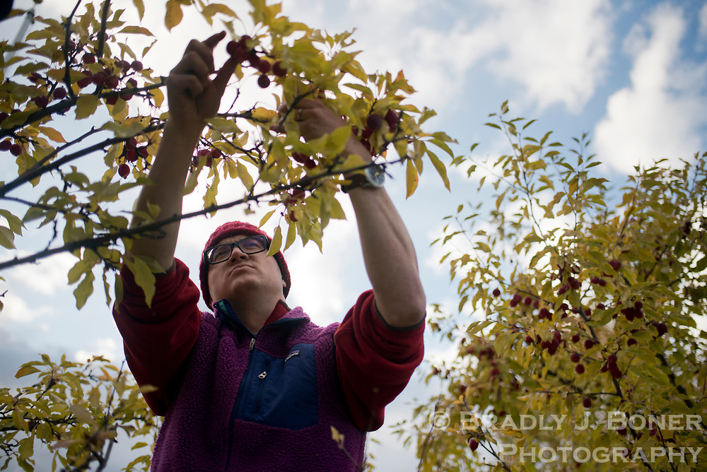 Orion Bellorado picks crabapples from a tree outside Wilson Elementary School on October 4. Bellorado and two friends are gathering the apples from several trees in the valley as part of a contract with the Teton Conservation District to try and reduce human conflicts with wildlife such as moose and bears.