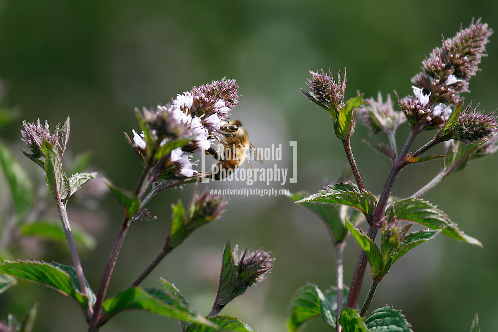© Rob Arnold.  07/08/2014. Hampshire, UK. A bee on Black Mitcham peppermint in the fields on the Malshanger estate. The peppermint will soon be harvested to be turned into tea and oil, which is used in chocolate making and other food products. The farm grows mint, lavender and camomile as their 'aromatic' crop, along with the staple farm crops such as barley and wheat. The oil is available direct from Summerdown Mint, but is also available from Neal's Yard in London. The tea is sold at leading retailers nationwide, including Booth's, Harvey Nichols, Partridge's & Waitrose. Photo by Rob Arnold