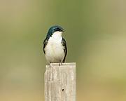 Calling Tree Swallow (Tachycineta bicolor), Missoula, Montana