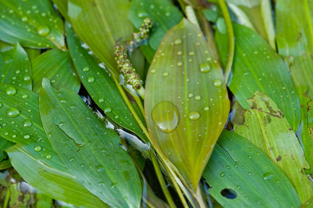 Pondweed (Potamogeton natans) on the surface of the water with raindrops on top, Lake Tisza, Hortobagy National Park, Hungary