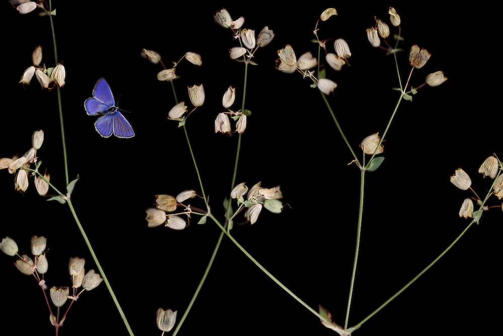 Bladder Campion, Silene vulgaris, and Escher&rsquo;s Blue butterfly, Polyommatus escheri.<br /> Stenje region, Lake Macro Prespa (850m) <br /> Galicica National Park, Macedonia, June 2009<br /> Mission: Macedonia, Lake Macro Prespa /  Lake Ohrid, Transnational Park<br /> David Maitland / Wild Wonders of Europe