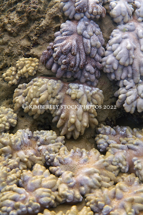 Leather corals on Turtle Reef, in Talbot Bay near the Horizontal Waterfalls