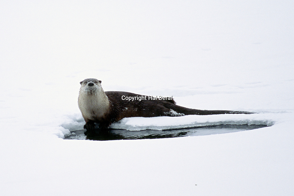 North American River Otter by hole in the ice on Lake Yellowstone<br /> (Lontra canadensis)<br /> Yellowstone National Park,Wyoming