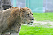 Lioness in the grass