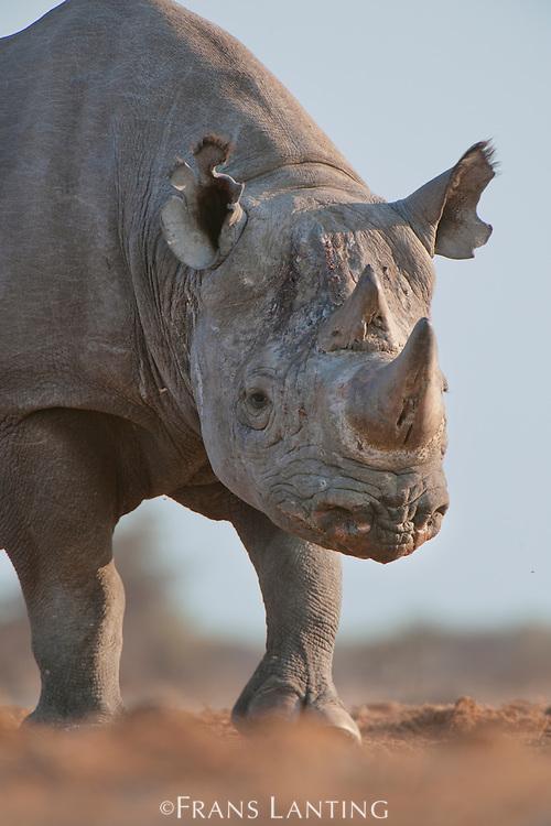 Desert black rhino, Diceros bicornis, Etosha National Park, Namibia