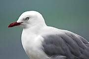 Red-billed gull, Catlins, New Zealand