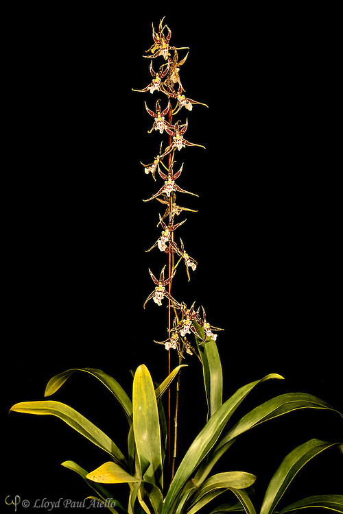 "Oncidium orchid grown by the photographer, with one multibranched flower spike 25 inches tall supporting 18 individual blossoms.  Oncidium is a genus that contains over 330 species of orchids.  It is an extraordinarily large and diverse group from varied habitats. Most species in the Oncidium genus are epiphytes (grow on other plants), although some are lithophytes (grow on rocks) or terrestrials (grow in the ground). They are widespread from northern Mexico, the Caribbean, and some parts of South Florida to South America, usually occurring in seasonally dry areas.  This genus was first described by Olof Swartz in 1800, a Swedish botanist and taxonomist and the first specialist of orchid taxonomy.  The name is derived from the Greek word ""onkos"", meaning ""swelling"" due to the callus at the flower's lower lip."