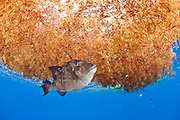 A Gray Triggerfish, Balistes capriscus, hovers below a patch of sargassum in the open ocean offshore Palm Beach County, Florida.