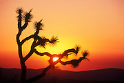 Image of a cactus silhouette at sunset, Joshua Tree National Park, California, American Southwest