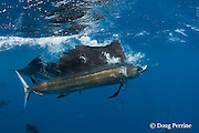 Atlantic sailfish, Istiophorus albicans, carries away a Spanish sardine (aka gilt sardine, pilchard, or round sardinella ), Sardinella aurita, it has just seized, off the Yucatan Peninsula, Mexico ( Caribbean Sea ); bubbles from the surface lunge still escape through the sailfish's gills; #4 in sequence of 4 images