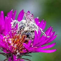 Closeup of a bee covered in pollen.