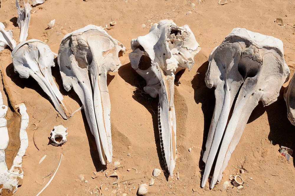 Sword fish carcasses lying in the sand, Banc d´Arguin world heritage sight, Western Africa, Mauretania, Africa