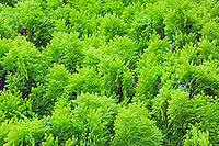 Close-up of a Juniper shrub