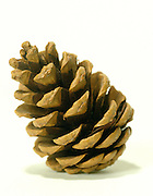 still life of a pinecone