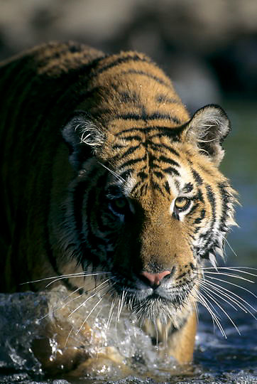 Bengal Tiger, (Panthera tigris) Crossing river. Inhabits India. Captive Animal.